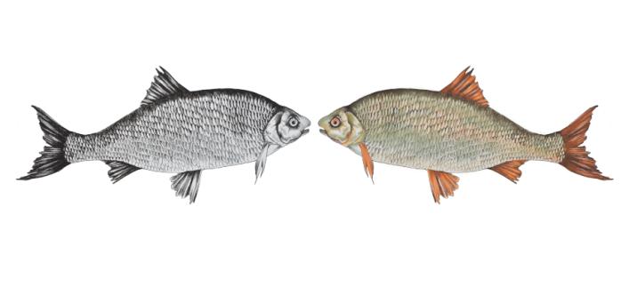fisk-tusch, digital färgläggning